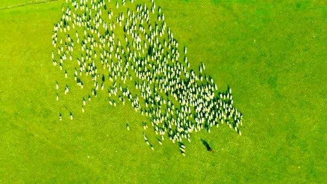 農場の上の羊の上の空中 - 家畜を集める点の映像素材/bロール