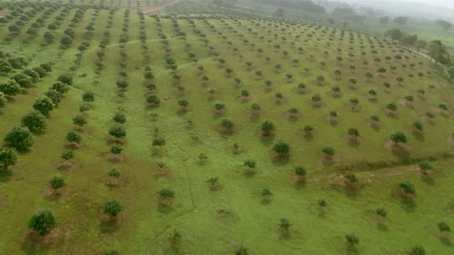aerial aircraft point of view flying over fields of cultivated trees on tree farm / veracruz, mexico - reforestation stock videos and b-roll footage