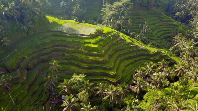 aerial: amazing green rice terraces, tegallalang, bali, indonesia - lush stock videos & royalty-free footage