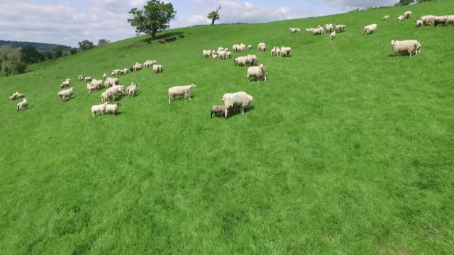 aerial and ground level views of sheep in a field in herefordshire - flock of sheep stock videos & royalty-free footage