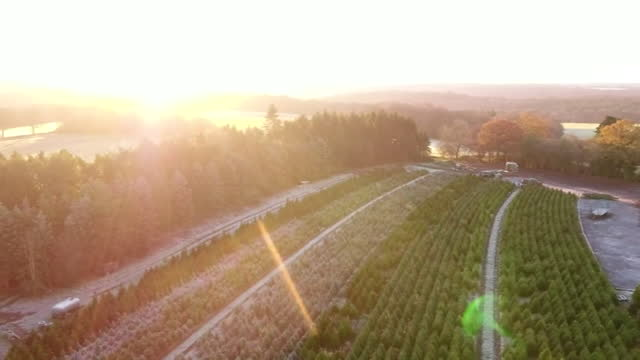aerial and sunrise over field of christmas trees - evergreen stock videos & royalty-free footage