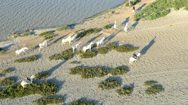 Aerial animal cowboy France galloping Camargue free energy