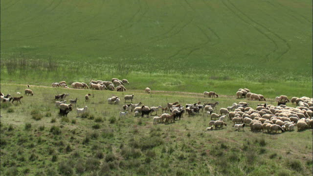 aerial bedouin boy herding his sheep in israel, negev, israel - grazing stock videos & royalty-free footage