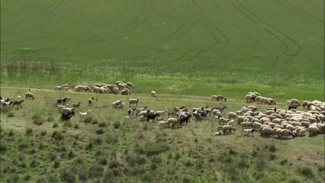 aerial bedouin boy herding his sheep in israel, negev, israel - pastore mandriano video stock e b–roll