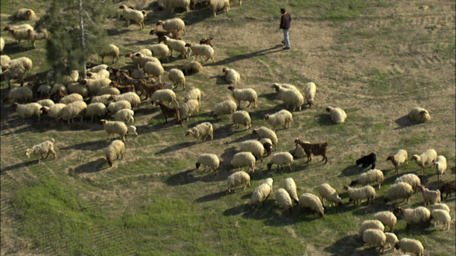aerial bedouin boy herding sheep in israel, negev, israel - shepherd stock videos & royalty-free footage