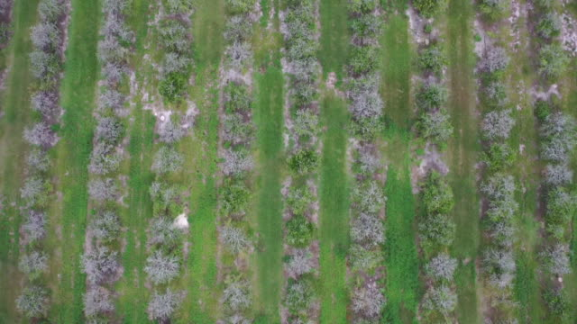aerial birds-eye drone over a citrus farm with trees that are diseased and dead in florida. - healthcare and medicine or illness or food and drink or fitness or exercise or wellbeing stock videos & royalty-free footage