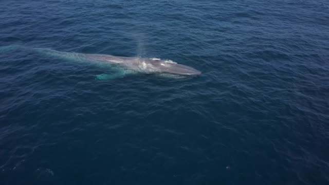 aerial: blue whale coming to surface - blauwal stock-videos und b-roll-filmmaterial