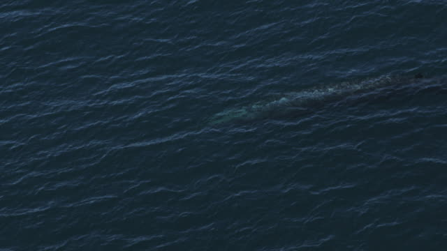 Aerial MS Blue whale visible below surface