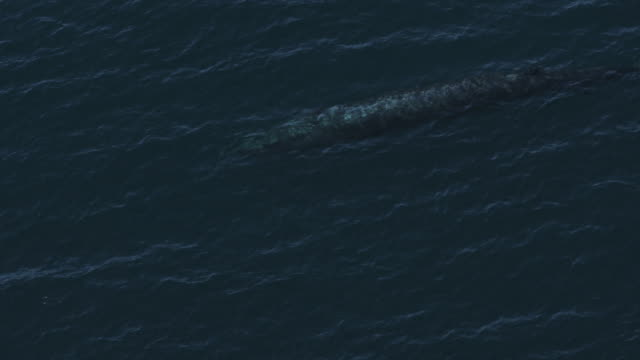 aerial ms blue whale visible below surface - blue whale stock videos & royalty-free footage