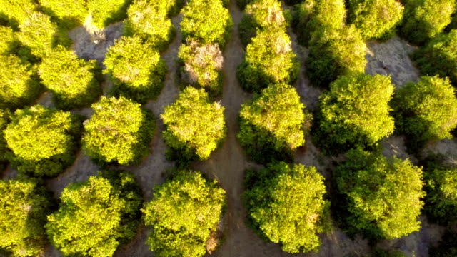 stockvideo's en b-roll-footage met aerial california orange orchards - boomgaard
