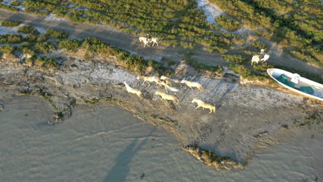 aerial camargue france animal horses cowboy people coastline - camargue stock-videos und b-roll-filmmaterial