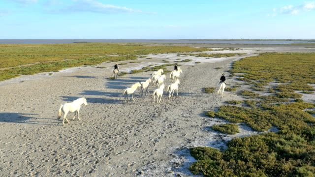 aerial camargue france animal horses white male cowboy - livestock stock videos and b-roll footage