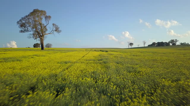 aerial: canola field with trees against sky on sunny day - canowindra, australia - crucifers stock videos & royalty-free footage