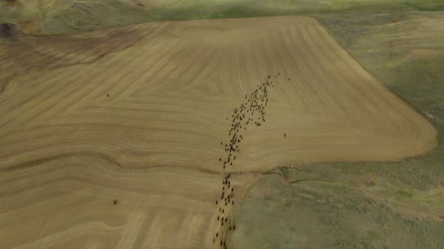vidéos et rushes de aerial cattle herded on montana ranch - grandes plaines américaines
