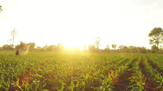 aerial corn field at sunset - corn crop stock videos and b-roll footage
