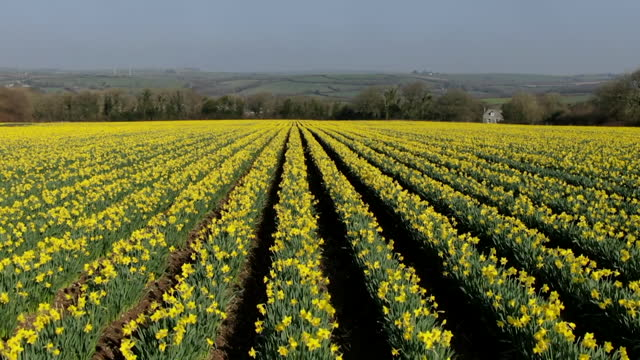 aerial daffodil crop - agricultural field stock videos & royalty-free footage