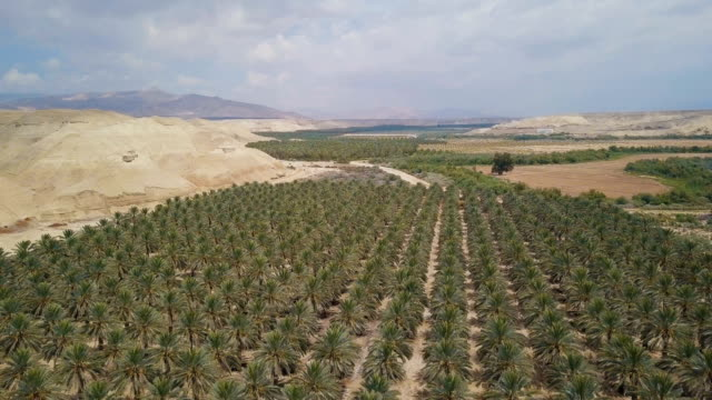aerial/ date palm plantation in the desert - flowering plant stock videos & royalty-free footage