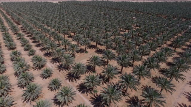 vídeos de stock e filmes b-roll de aerial/ date palm plantation in the desert - israel