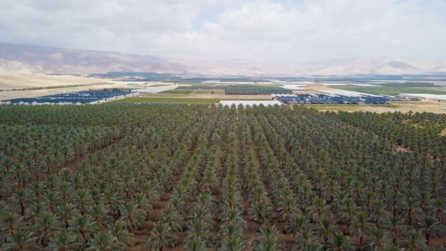 aerial/ date palm plantation in the desert with greenhouses - 顕花植物点の映像素材/bロール