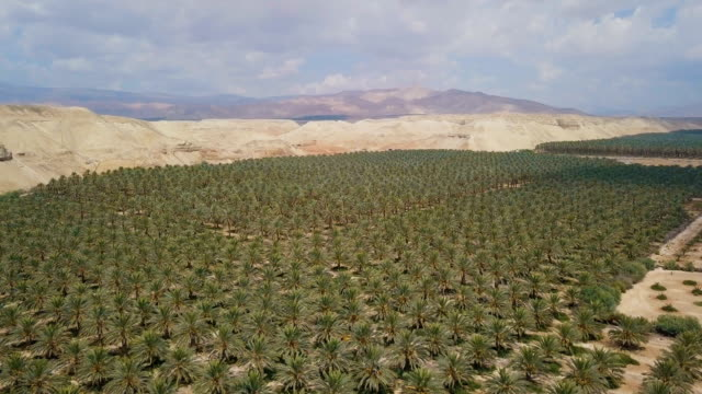 aerial/ dates and date palm cultivation in the desert - koran stock videos and b-roll footage