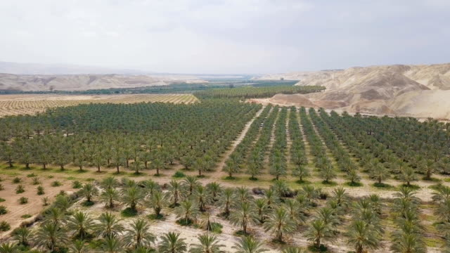 aerial/ dates and date palm cultivation in the desert - desert oasis stock videos & royalty-free footage