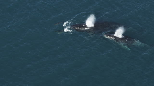 Aerial MS directly above 2 Humpback whales surfacing with dolphins bow riding