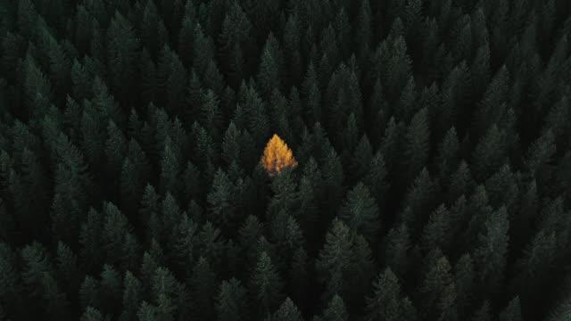 vídeos y material grabado en eventos de stock de aerial dolly shot showing an isolated yellow coloured tree in a green forest, italy - pinaceae