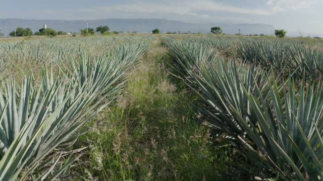aerial: drone flying backward from green agave tequilana field against sky on sunny day - 農園点の映像素材/bロール