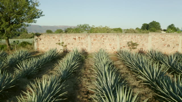 aerial: drone flying forward towards stone wall by plants on field against sky during sunny day - tequila, mexico - yucca stock videos & royalty-free footage