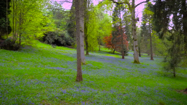 Aerial drone footage flying through bluebell woods