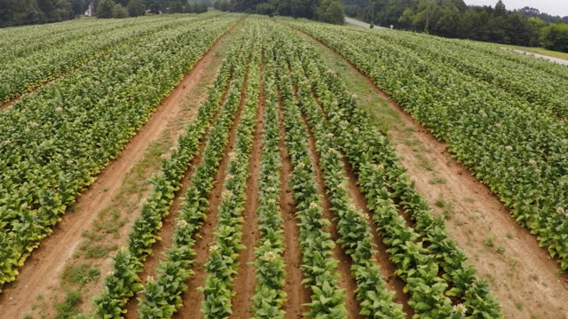 aerial drone footage of a North Carolina tobacco farm. Shot starts low and then pulls away to reveal a larger field.