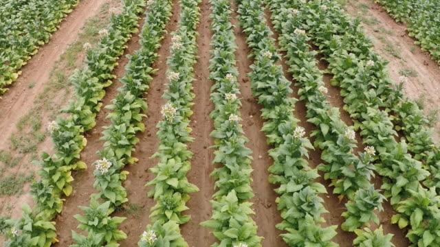 aerial drone footage of a north carolina tobacco farm. - tobacco crop stock videos & royalty-free footage