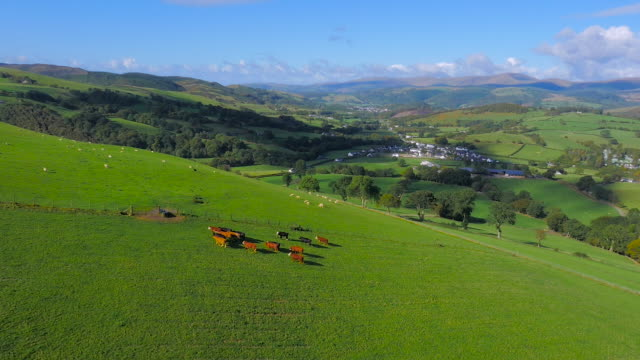 aerial drone footage of cattle walking and sheep grazing - aberystwyth stock videos & royalty-free footage