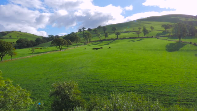 aerial drone footage of cattle walking in a field - sheep stock videos & royalty-free footage
