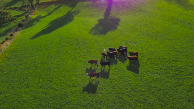 aerial drone footage of cattle walking with lens flares - bovino video stock e b–roll