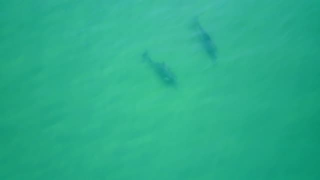 Aerial drone footage of dolphins swimming near the surface of the wáter, Acapulco, Mexico.