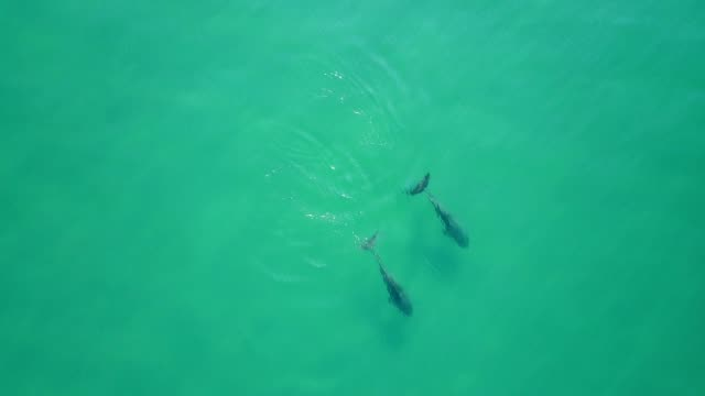 aerial drone footage of dolphins swimming near the surface of the wáter, acapulco, mexico. - filming stock videos and b-roll footage