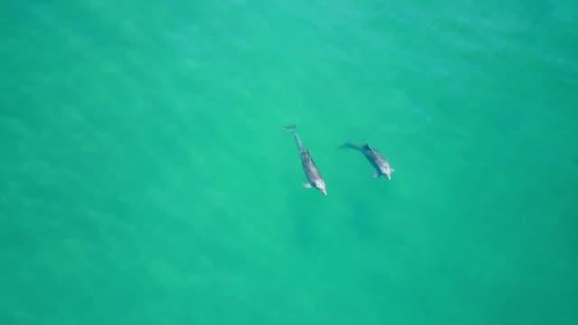 wáter、アカプルコ、メキシコの表面近くのイルカの空中ドローン映像。 - ネズミイルカ点の映像素材/bロール