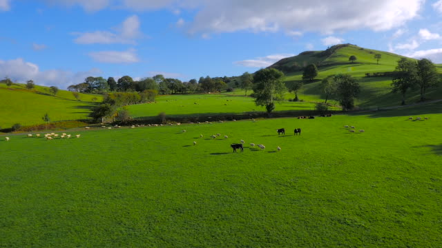 vídeos y material grabado en eventos de stock de aerial drone footage of sheep and cattle grazing - gales