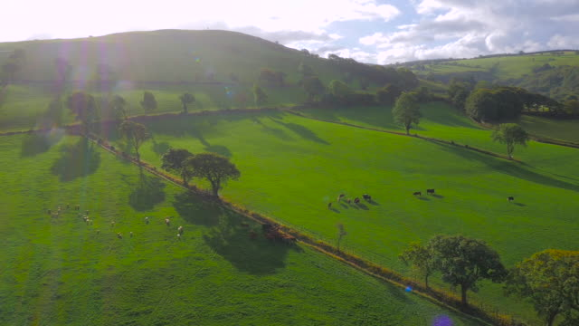 Aerial drone footage of sheep and cattle grazing with lens flares