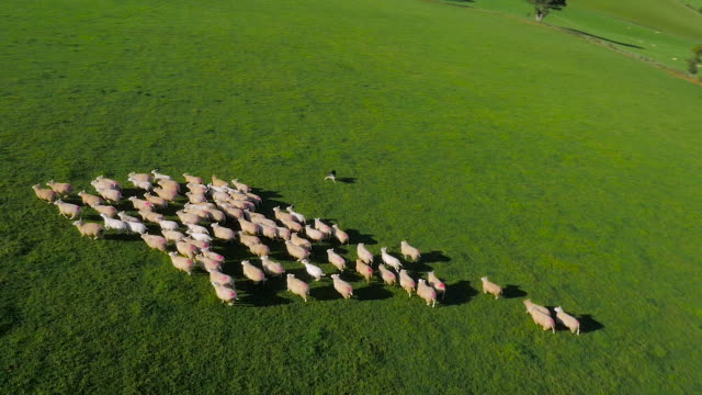 Aerial drone footage of sheep being herded by sheep dogs