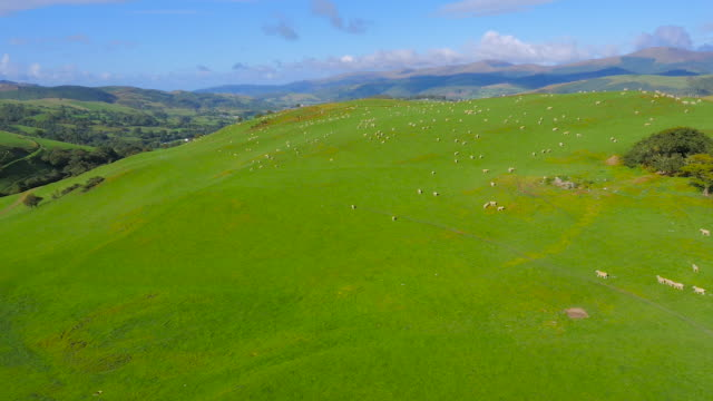 aerial drone footage of sheep grazing in the welsh valleys - aberystwyth stock videos & royalty-free footage