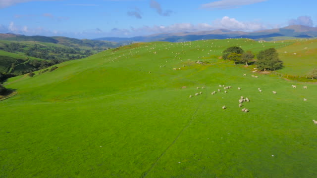 Aerial drone footage of sheep grazing
