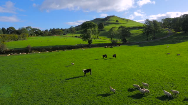 Aerial drone footage of sheep running in a field with cattle