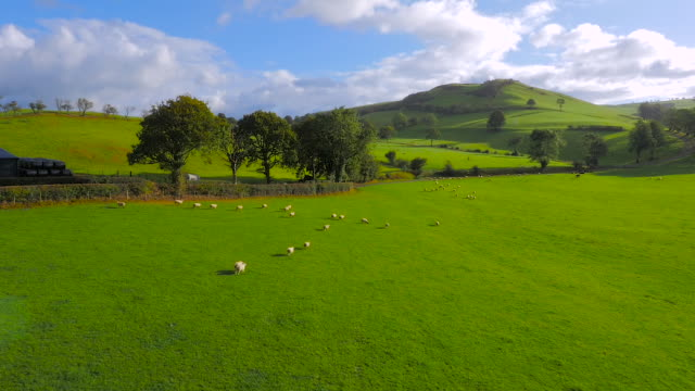 vídeos de stock e filmes b-roll de aerial drone footage of sheep running through a field - país de gales