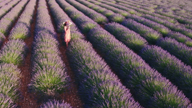 vidéos et rushes de aerial drone footage of woman in lavender field at sunset, provence, france - droit