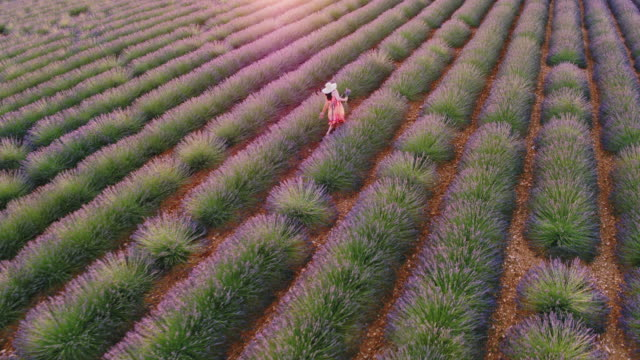 aerial drone footage of woman in lavender field at sunset, provence, france - lavender stock videos & royalty-free footage