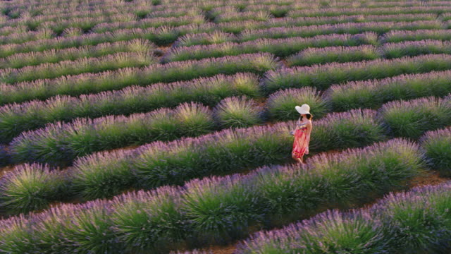 Aerial drone footage of woman in lavender field at sunset, Provence, France
