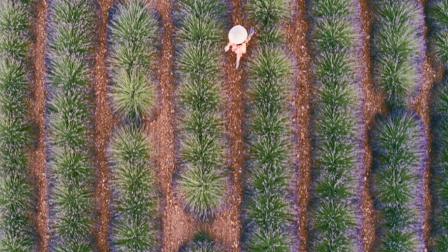 aerial drone footage of woman in lavender field at sunset, provence, france - 30 sekunden oder länger stock-videos und b-roll-filmmaterial