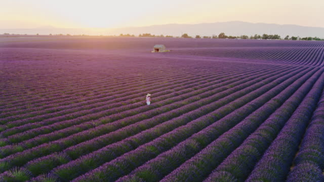 aerial drone footage of woman in lavender field at sunset, provence, france - provence alpes cote d'azur stock videos & royalty-free footage